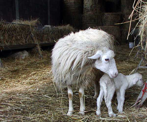 Ovile in agriturismo biologico a Volterra