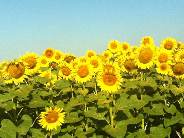 I fiori più grandi