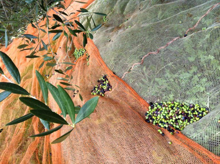 La raccolta delle olive in Toscana