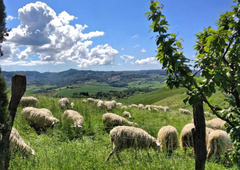 Pecore di razza sarda a Volterra